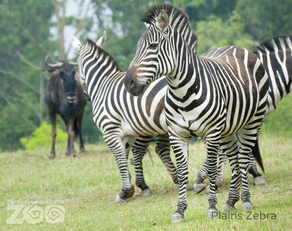 Fort-Wayne-Childrens-Zoo_Plains-Zebra